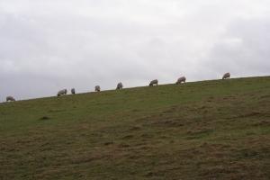 Sheep_1